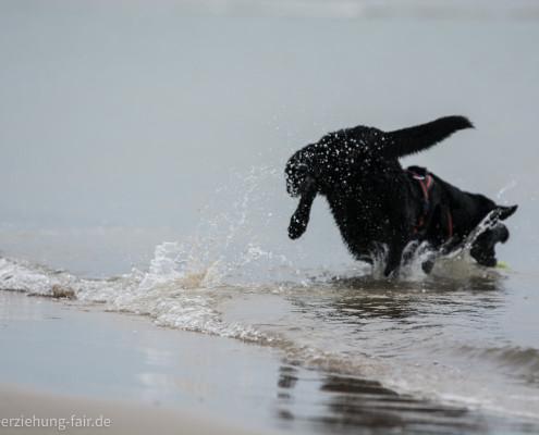Unser Labrador im Meer