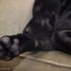 Labrador schläft auf dem Sofa