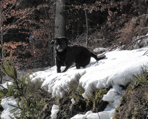 Labrador im Wald