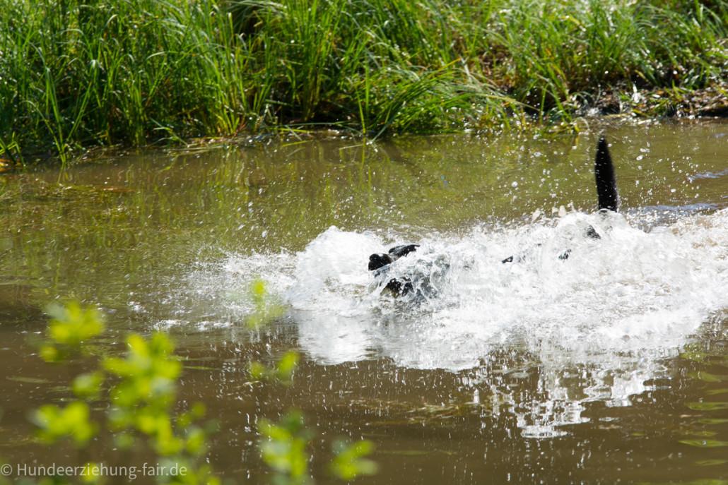 Labrador-im-Wasser.jpg
