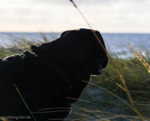Labrador am Meer